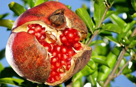 なぜ、ザクロはアンチエイジングや美容の果実として伝えられて来たのか